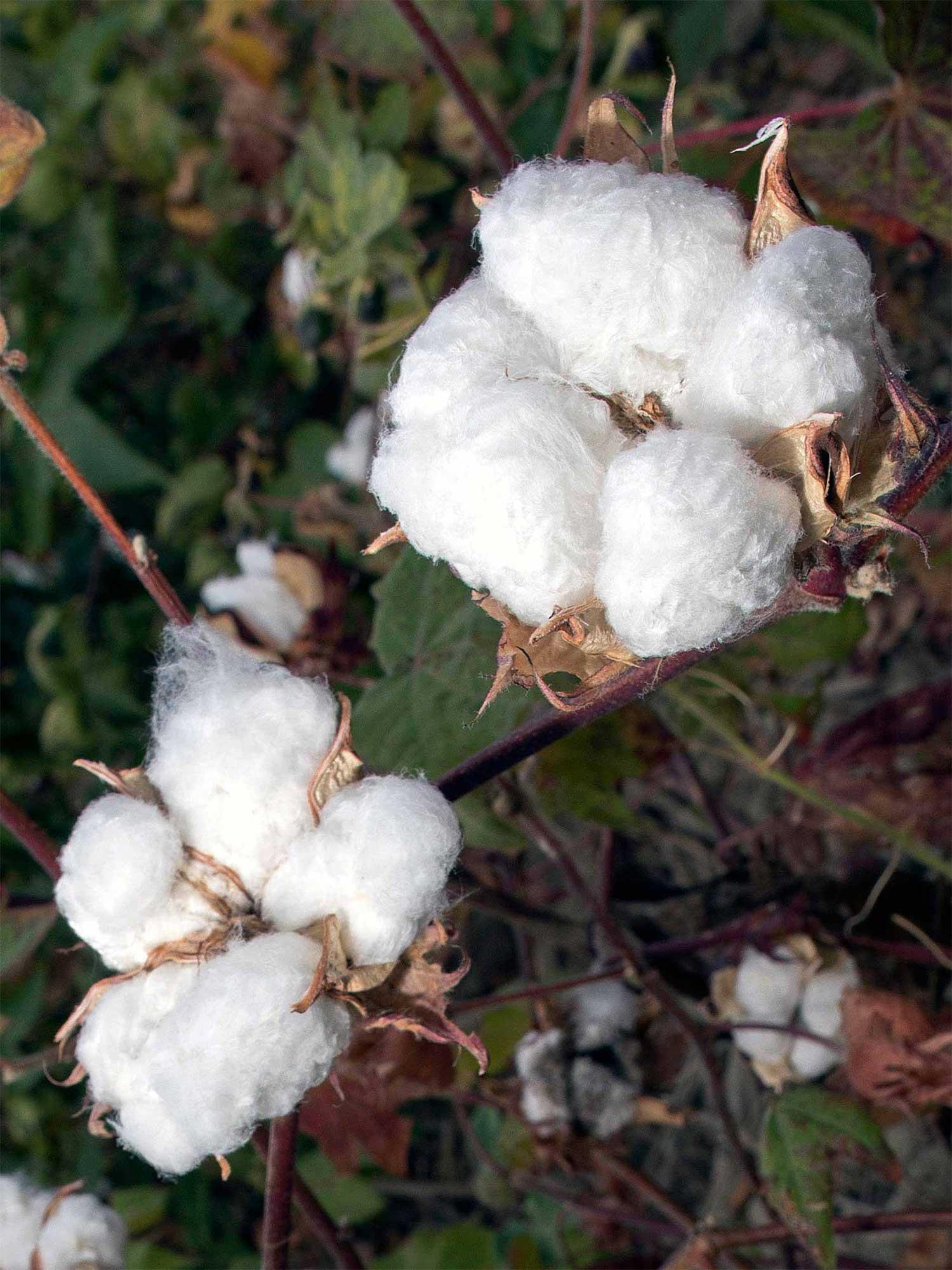 Reine Pima Baumwoll-fasern aus Peru | mey®