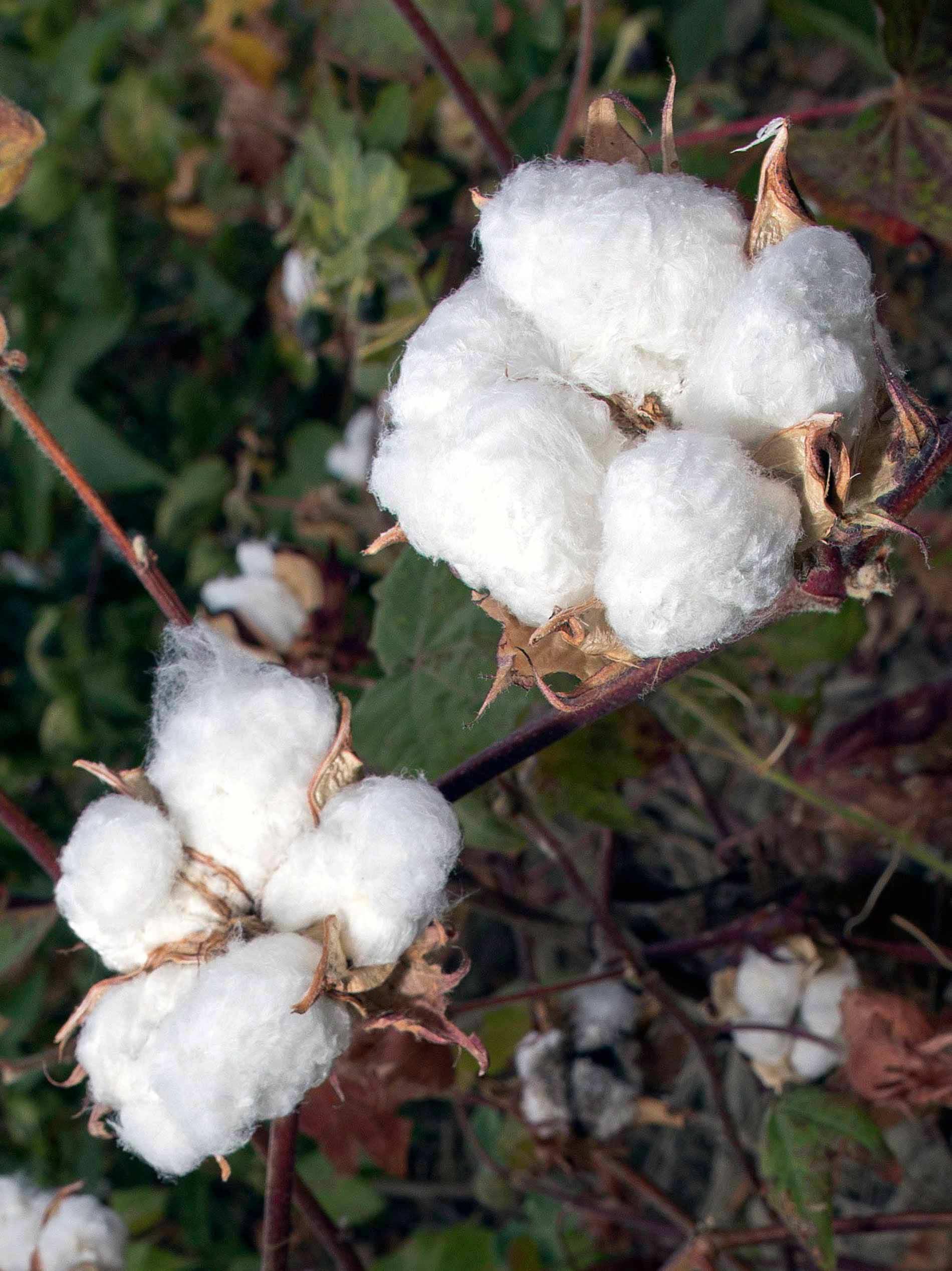 zwei geöffnete, reife Baumwollblüten an der Baumwollpflanze | mey®