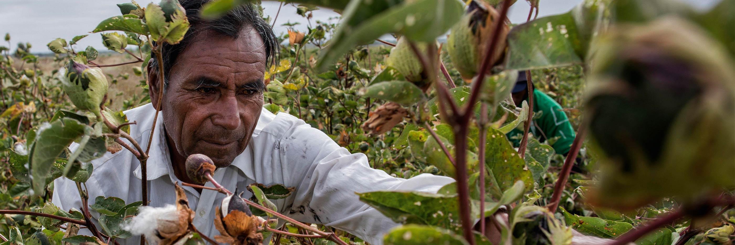 Baumwollpflücker in Peru erntet die reifen Baumwollblüten | mey®
