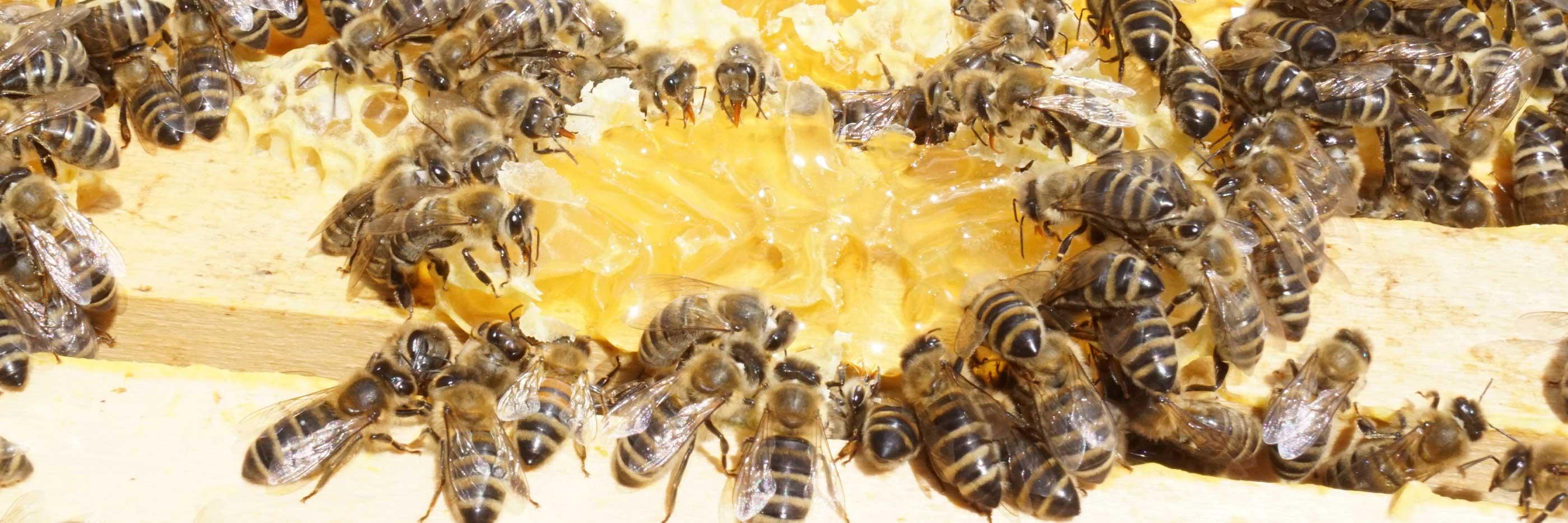 De zwerm bijen verzamelt de honing uit de open raten   mey®