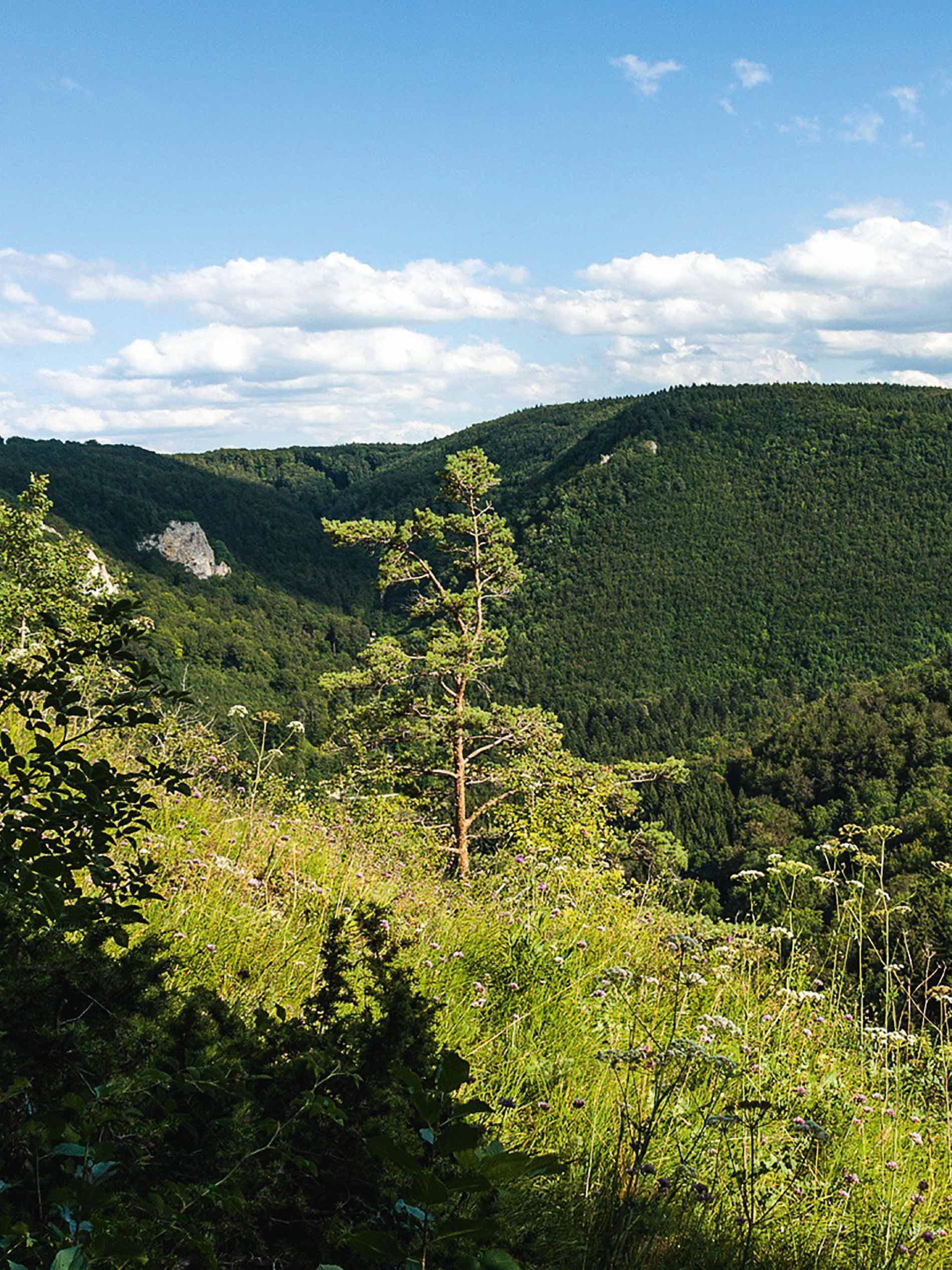 landschapsfoto van de Schwäbische Alb in de zomer, groene weide met boom en struikjes op de voorgrond, beboste hellingen op de achtergrond   mey®