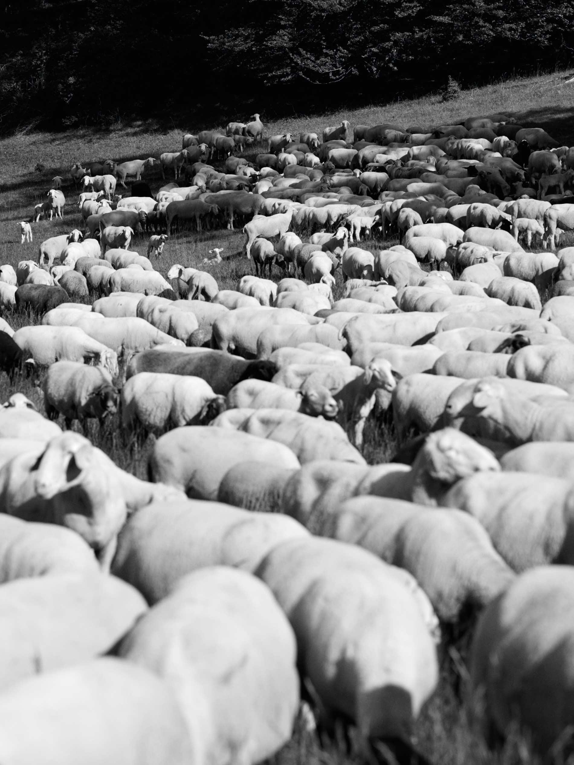 herd of sheep on the Swabian Jura   mey®