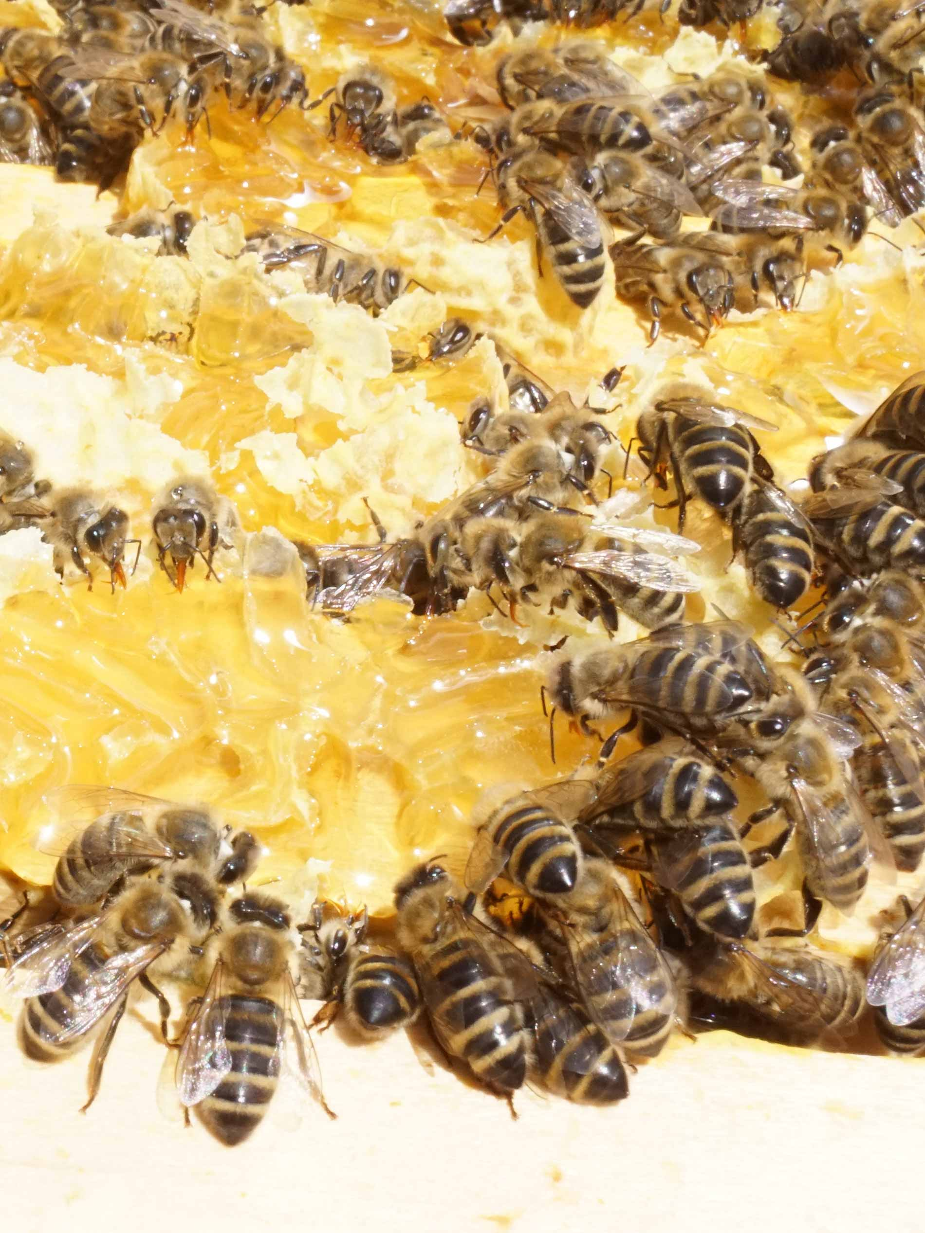 Bees collect honey on an open honeycomb   mey®