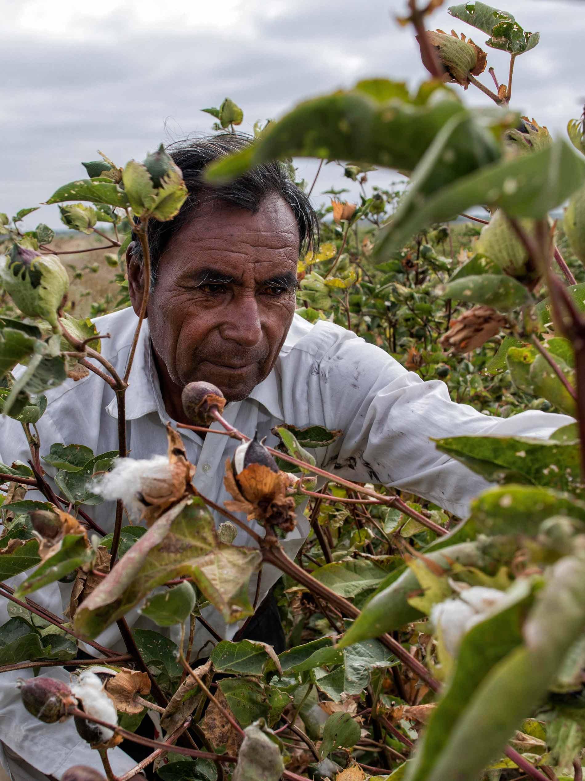 Baumwollpflücker in Peru erntet die reifen Baumwollblüten   mey®